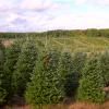 Group of Frasier Fir Christmas Trees