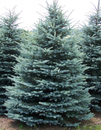 blue spruce tree - Buy Christmas Tree