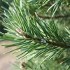Balsam Fir Close Up