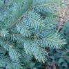 Blue Spruce Needles Detail