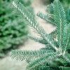 Frasier Fir Close Up